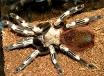 z OUT OF STOCK - Nhandu chromatus - BRAZILIAN RED AND WHITE TARANTULA - approx 1/2