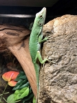 z OUT OF STOCK - NEOTROPICAL GIANT GREEN ANOLE, WC - Anolis biporcatus
