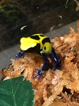 z OUT OF STOCK - NIKITA DART FROG BABIES, CB - Dendrobates tinctorius