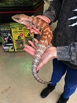 z OUT OF STOCK - BLUE TONGUE SKINK, NORTHERN - CB