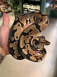 z OUT OF STOCK - ORANGE DREAM BALL PYTHON - CB, Python regius