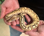 z OUT OF STOCK - ORANGE DREAM / BUTTER / FIRE / BALL PYTHON - Python regius, CB MALE