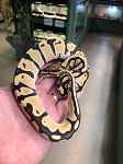 z OUT OF STOCK - ORANGE DREAM FIRE BALL PYTHON - CB FEMALE, Python regius