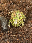 z OUT OF STOCK - ORNATE PACMAN frog - Ceratophrys ornata, CB babies