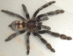 z OUT OF STOCK - Psalmopoeus irminia  - VENEZUELAN SUNTIGER TARANTULA, 3-4
