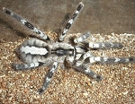 zOUT OF STOCKz - Poecilotheria regalis - INDIAN ORNAMENTAL TARANTULA, 1
