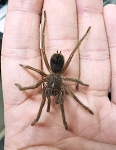 Pamphobeteus antinous - BOLIVIAN BLUE LEG BIRD-EATING TARANTULA - 1-1.5