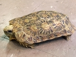 z OUT OF STOCK - CB PANCAKE TORTOISE - Malacochersus tornieri