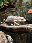 z (OUT OF STOCK) AMBILOBE PANTHER CHAMELEON - CB baby Males, Furcifer pardalis
