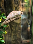 z OUT OF STOCK - AMBILOBE PANTHER CHAMELEON - CB FEMALEs, Furcifer pardalis