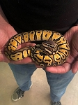 z OUT OF STOCK - PASTEL BALL PYTHON - MALE, Python regius
