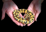 z OUT OF STOCK - PASTEL ENCHI BALL PYTHON - Python regius, 2019 MALE