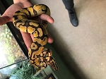 z OUT OF STOCK - PASTEL ENCHI BALL PYTHON - Python regius, 2020 FEMALE