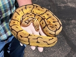 z OUT OF STOCK - PASTEL ENCHI SPIDER BALL PYTHON - Python regius, 2018 FEMALE
