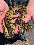 z OUT OF STOCK - ORANGE DREAM PASTEL BALL PYTHON - CB MALE, Python regius