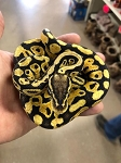 z OUT OF STOCK - PASTEL YELLOWBELLY BALL PYTHON, 2017 FEMALE - Python regius