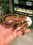 z OUT OF STOCK - PIED BALL PYTHON - CB LOW WHITE FEMALE, Python regius