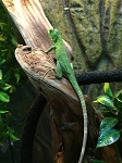 z OUT OF STOCK - PIED MEXICAN SPINY TAILED IGUANAS - Ctenosaura pectinata - babies (green as babies, black & white as adults)
