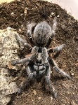 Ceratogyrus darlingi - REAR HORNED BABOON TARANTULA, 1/2