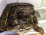 z ALREADY ADOPTED - BOA CONSTRICTOR - ADULT B6
