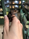 z OUT OF STOCK - RED EYED CROCODILE SKINK - Adults , Triblonotus gracilis