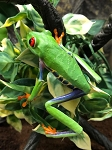 z OUT OF STOCK - RED EYE TREE FROG, WC - Agalychnis callidryas