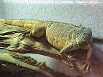 z OUT OF STOCK - RED IGUANA big babies - Iguana iguana