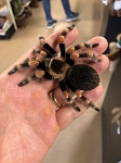 Brachypelma hamorii (formerly smithi) - CB MEXICAN RED KNEE, .5