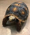 z OUT OF STOCK - RED FOOT TORTOISE - CB BABIES - Chelonoidis carbonaria
