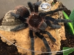 z OUT OF STOCK - Brachypelma vagans - MEXICAN RED RUMP TARANTULA