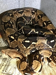 z ALREADY ADOPTED - BOA CONSTRICTOR - ADULT B2