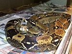 z ALREADY ADOPTED - BOA CONSTRICTOR - ADULT B5