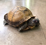 ALREADY ADOPTED - EASTERN BOX TURTLE