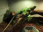 z ALREADY ADOPTED - GREEN IGUANA