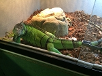 ALREADY ADOPTED - GREEN IGUANA