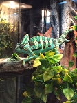 z(OUT OF STOCK) - VEILED CHAMELEON - CB MALE ADULT, 1 1/2 OLD - Chamaeleo calyptratus