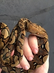 z OUT OF STOCK - RETICULATED PYTHON - Python reticulatus