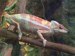 z OUT OF STOCK - SAMBAVA PANTHER CHAMELEON - Furcifer pardalis