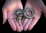 z OUT OF STOCK - MEXICAN ROSY BOA - San Ignacio - 2019 male (T) , Lichanura trivirgata (Produced at Reptile Rapture)