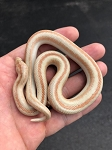 z OUT OF STOCK - ROSY BOA - SAN MATIAS - CB 2018 MALE - Lichanura trivirgata