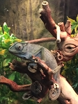 z OUT OF STOCK - SENEGAL CHAMELEON - Young - Chamaeleo senegalensis