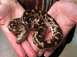 z OUT OF STOCK - SHARP TAILED SAND BOA, adult female - Gongylophis muelleri