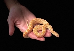 SONORAN GOPHER SNAKE, ALBINO - CB FEMALE, Pituophis catenifer affinis