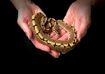 z OUT OF STOCK - SPIDER BALL PYTHON - Python regius, CB MALE