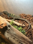 z OUT OF STOCK - SPINY NECK MONITOR, baby - Varanus spinulosus