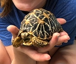z OUT OF STOCK - INDIAN STAR TORTOISE - CB juvie, Geochelone elegans