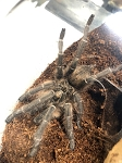 z OUT OF STOCK - Ceratagyrus marshalli - STRAIGHT HORNED BABOON TARANTULA, 2.5