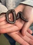 z OUT OF STOCK - KENYAN SAND BOA, ANERY STRIPED female - Eryx colubrinus