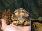 z OUT OF STOCK - SULCATA TORTOISE, CB approx 4 inches - Centrochelys sulcata