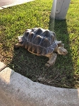 z ALREADY ADOPTED - SULCATA TORTOISE, CB 6 year old FEMALE - Centrochelys sulcata